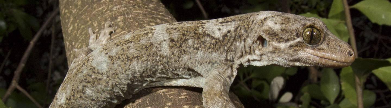 Hoplodactylus duvaucelii (Duvaucel's gecko)
